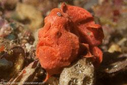 BD-151231-Malapasqua-1606-Antennarius-pictus-(Shaw.-1794)-[Painted-frogfish].jpg